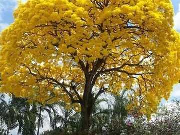 tree with yellow flowers - tree with yellow flowers - the beauty of nature
