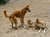 Dingo australiano