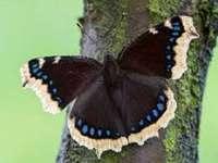 Rusalka, sörjaren. - Mourner fairy butterfly.