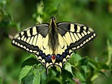 Papillon machaon. - Papillon reine paz.