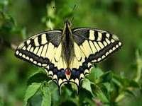 Otakárek motýl. - Motýl královna paz.