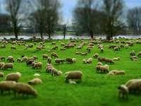 Stádo ovcí - Stádo ovcí na pastvině