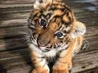 mi tiger taehyung