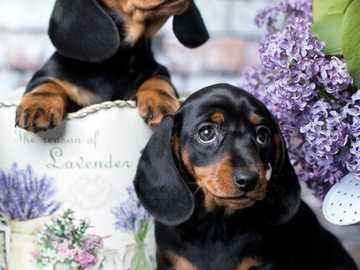 Δύο όμορφα μωρά - Δύο όμορφα dachshunds μωρό