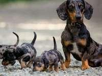 A beautiful family - A beautiful dachshund family
