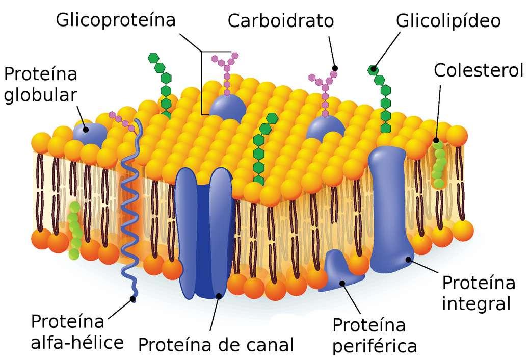 MEMBRANA PLASMATICA - Struttura della membrana plasmatica (9×6)