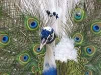 L'oiseau royal