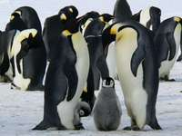 Penguins - m ...............................