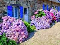 Hortenzia házak Bretagne-ban