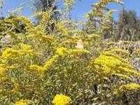 Μια πεταλούδα σε ένα χρυσόβεργα λουλούδι