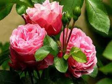 Reine des fleurs. - Les reines des fleurs sont des roses.