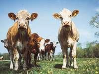 fehér és barna szarvasmarha zöld mezőben kék és fehér ég alatt