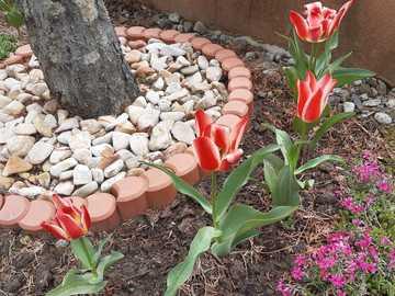 tulipes sous l'arbre - tulipes colorées sous l & # 39; arbre