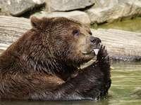 Das Bärenjunges - Der Teddybär kühlt bei heißem Wetter im Wasser ab