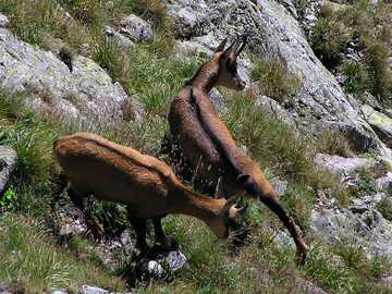 Alpine goat - Northern chamois [3], formerly: chamois [4] (Rupicapra rupicapra) - a mammal from the family of bovi