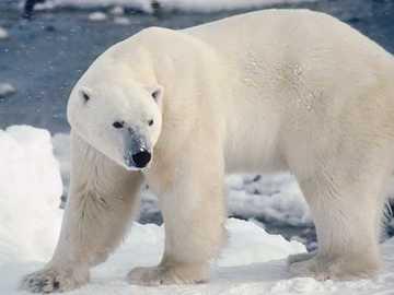 Eisbär - Bären am Nordpol