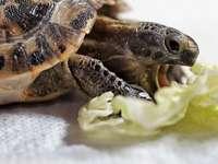 Mata sköldpaddan