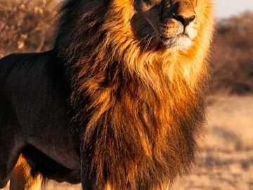 Strong animal lion - This image shows a lion