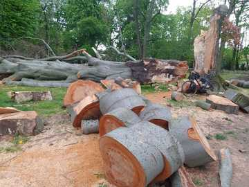 abattage de vieux arbres - abattage de vieux arbres dans la forêt