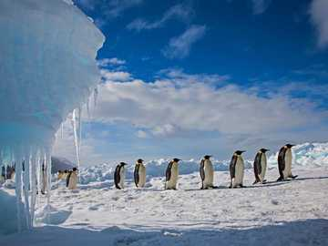FAMILIE DER PINGUINE - ARCTIC ANIMALS PINGUINE WALKING