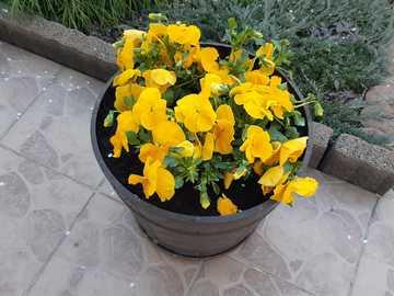 pensées jaunes dans un pot - pensées jaunes dans un pot sur la terrasse