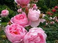 Рози в градина