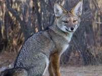Animales del noroeste: zorro gris