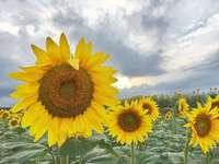 Un campo di fiori di sole