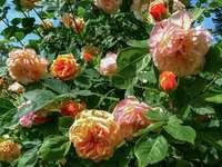 Rosas inglesas Charles Austin
