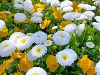 white coins and yellow violets - white coins and yellow violets
