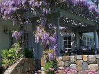 wisteria at the entrance to the house - wisteria at the entrance to the house