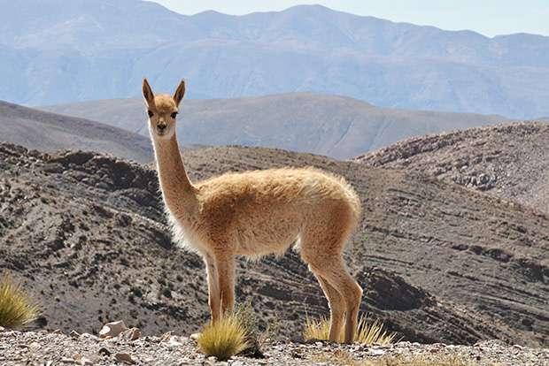 Vicuña Salinas - Nordwesttiere: Vicuña. Vicuña von Salinas Grandes. Lass uns mit den Tieren spielen, die wir finden! Lass uns mit den Tieren spielen, die wir getroffen haben (5×4)