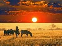 África y su naturaleza - Cebras en el atardecer en la sabana africana