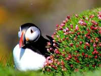 Puffin on the coast of Scotland - Puffin on the coast of Scotland