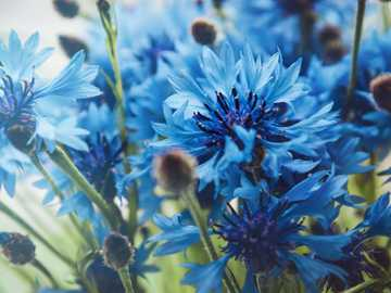 Kornblumen - Ein blaues Kornblumenfeld