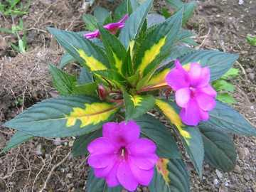 Blütenzauber - Blütenzauber Mittelamerika