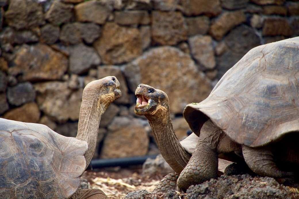 Tartarugas falando nas Galápagos - duas tartarugas marrons frente a frente. Ilhas Galápagos, Equador (7×5)