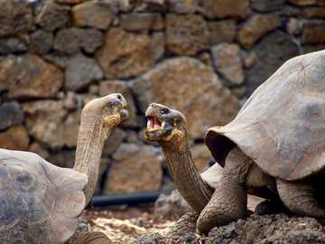 Tortoises talking in the Galapagos