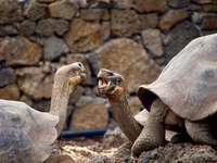 Tortoises talking in the Galapagos - two brown tortoise facing each other. Galapagos Islands, Ecuador