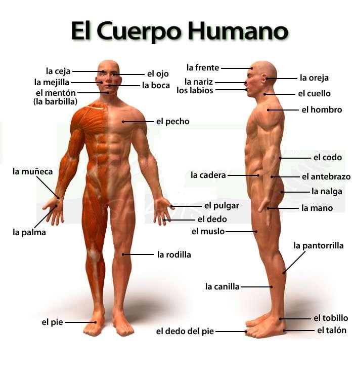 Het menselijk lichaam en zijn onderdelen - Stel deze geweldige puzzel samen over het menselijk lichaam en zijn onderdelen (6×7)