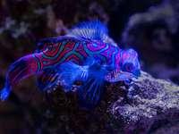 peixes azuis e vermelhos em cima de uma rocha marrom