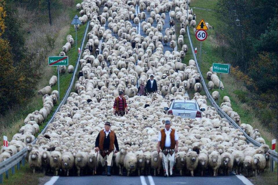 vynášení ovcí z haly
