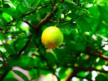 Home Garden - yellow round fruit on tree. Keshod, Gujarat, India
