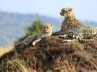 гепарди - най-бързите животни в света