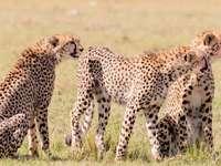 три кафяво-бяло-черни гепарда
