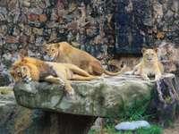 lion et lionne marron sur rocher - Suivez-moi sur Instagram: @hugomanito. Parqueadero Zoológico De Cali, Cali, Valle del Cauca, Colomb