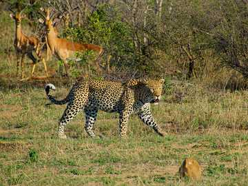 white, black, and brown tiger on green lawn grasses - This photo was taken of a leopard failing to hunt impala in Kruger National Park, South Africa. Krug
