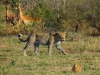 tigre blanc, noir et brun sur les graminées vertes - Cette photo a été prise d'un léopard échouant à chasser l'impala dans le parc nationa