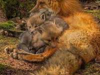 kleine vossen in mama's armen
