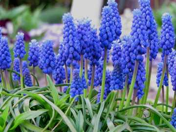 fiori blu ....... - fiori blu ...............................